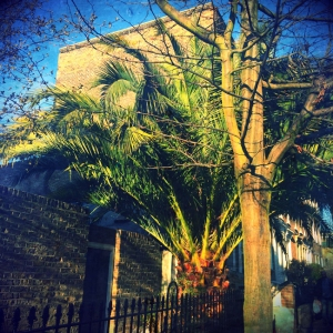 Palm tree off Sutherland Square
